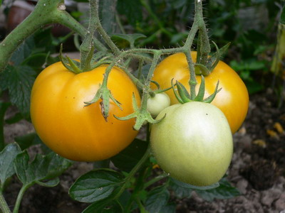 Tomates Orange Queen