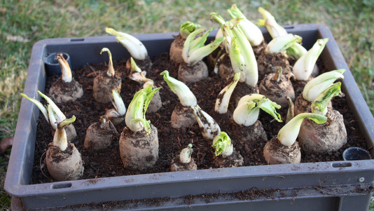 Plantation des chicons endives dans la cave quoi de neuf au potager - Culture des endives au jardin ...