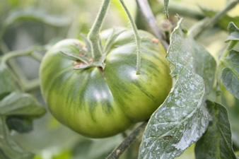 Tomate Green pinapple